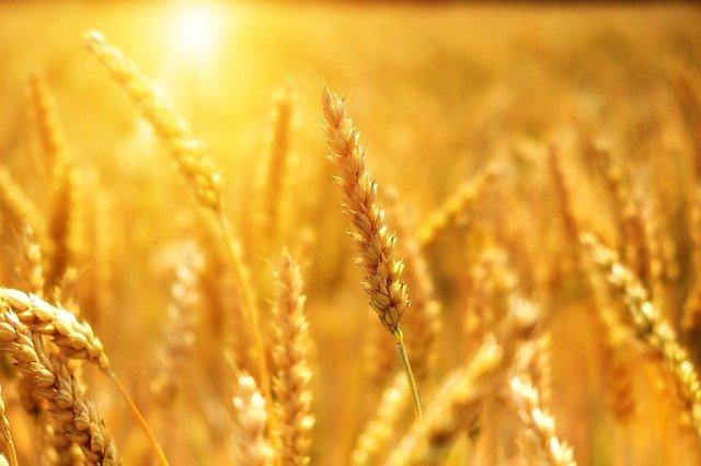 Wheat Grain Cornfield